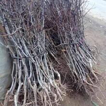 枣树苗批发2ub8优游注册专业评级网分雪枣枣树苗种植方法种植技术图片