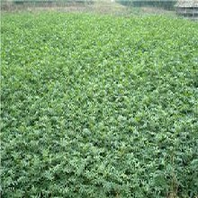 花椒苗多少錢一株花椒苗批發價格種植方法種植技術應注意的關鍵問題圖片
