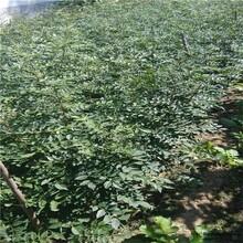 出售花椒苗大红袍花椒苗保证成活率今年哪个品种好保成活图片