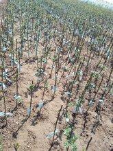 花椒苗出售花椒苗基地直销适合什么地方种植