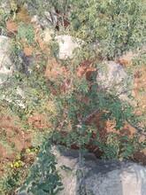 花椒苗價格花椒苗供應一畝地種多少棵圖片