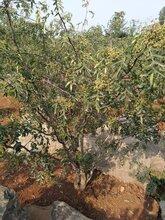 花椒苗基地花椒苗批发花椒苗哪家好种植方法种植技术