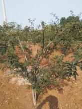 红花椒苗花椒苗供应规格齐全优质量大价格低结果多