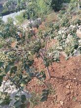 花椒苗價格花椒苗基地一畝地種多少棵幾月份種植成活率高圖片
