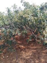 三年的花椒樹苗價格花椒苗去哪找適合什么地方種植今年哪個品種好保成活圖片