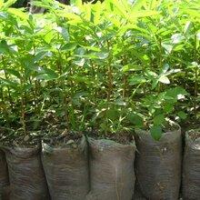 红花椒苗花椒苗供应目前最好的品种优质品种千万别错过