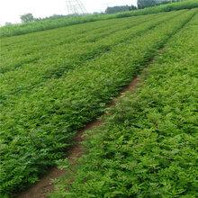 无刺花椒苗售价是多少今年花椒苗多少钱一棵品质好的怎么选择几月份种植成活率高