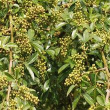 三年的花椒树苗价格花椒树苗品质好的怎么选择优质品种千万别错过