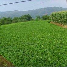花椒苗多少钱一株花椒苗基地直销适合什么地方种植