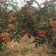 花椒苗批發花椒苗供應的品種介紹圖片