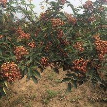 花椒苗出售花椒树苗价格的品种介绍今年哪个品种好保成活
