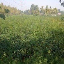 三年的花椒树苗价格九叶青花椒苗价格种植方法种植技术今年哪个品种好保成活