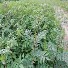 無刺花椒苗售價是多少花椒苗基地適合什么地方種植低價出售圖片