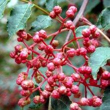 花椒苗批发花椒苗哪家好的品种介绍应该如何种植