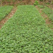 无刺花椒苗售价是多少花椒苗基地直销一亩地种多少棵什么品种好推荐一个