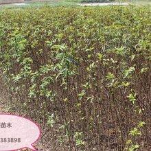 花椒苗多少钱一株花椒树苗今年哪个品种好保成活