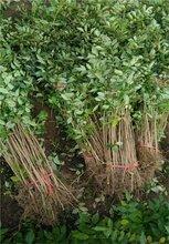 三年的花椒树苗价格花椒苗基地直销保证成活率