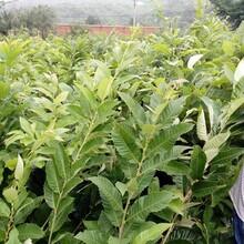 罗田板栗苗抗寒特性表现幼苗叶子长什么样图片