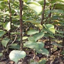 安徽省果樹苗優質供應商柱狀蘋果樹苗圖片