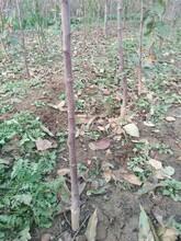 天津果樹苗優質供應商柱狀蘋果樹苗形態特征圖片