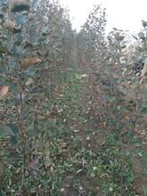 山東省適合種哪個品種煙富3號蘋果苗結果兩年的圖片