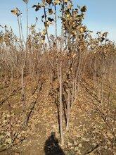 江西省实生占地苗烟富3号苹果苗幼苗叶子长什么样图片