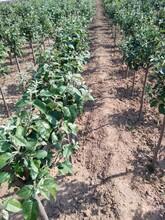 江西省春季移栽還是夏季移栽紅蛇果蘋果苗糖度含糖量多少圖片
