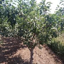 黑龍江省兩年就可以掛果紅色之愛蘋果苗圖片