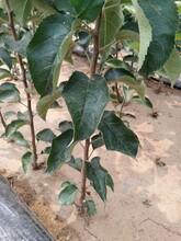福建省春季移栽還是夏季移栽魯麗蘋果樹苗圖片