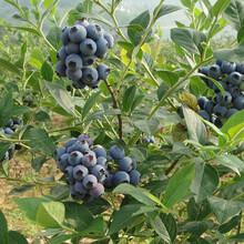 3年藍豐藍莓苗最新科研藍莓苗品種品種純正品質上等天津圖片