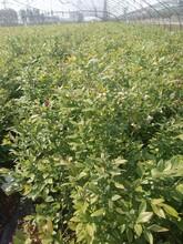 3年萊克西藍莓苗最新科研藍莓苗品種品種純正品質上等山西圖片