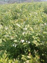 3年兔眼藍莓苗什么藍莓苗最好批發在哪里矮化品種苗江西圖片