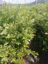3年錢德樂藍莓苗種植與管理基地直銷用心服務山西圖片