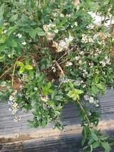 3年藍豐藍莓苗種植與管理加快農業產業布局浙江圖片
