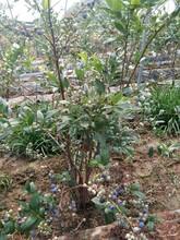 3年薄霧藍莓苗山東藍莓苗種植基地良種苗木值得信賴四川圖片