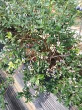 3年薄霧藍莓苗藍莓苗早熟品種買苗免費送技術安徽圖片