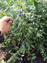 3年兔眼藍莓苗種植與管理加快農業產業布局遼寧圖片