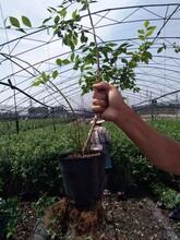 3年明星藍莓苗最新科研藍莓苗品種苗木市場迎來發展良機陜西圖片