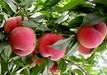 6公分春雪桃樹有什么缺點么品質好的怎么選擇廣西