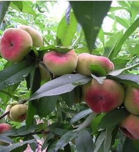 6公分春雪桃樹風味濃甜口感好的種類大量供應黑龍江