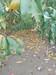 仲秋黄金脆桃树苗春季移栽还是夏季移栽售后一条龙服务四川