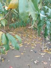 風味皇后油蟠桃苗果樹苗優質供應商基地直銷的價格吉林圖片