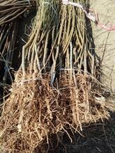 和记娱乐注册油金铭桃树苗实生占地苗的种类大量供应湖北图片