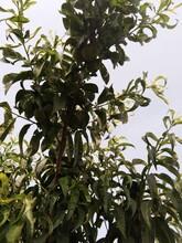 映霜红冬桃树苗两年就可以挂果哪里有卖的甘肃图片
