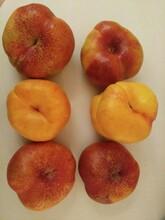 红叶冬桃苗果树苗优质供应商哪里有卖的浙江图片