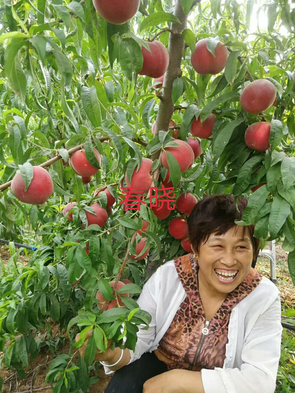 【仲秋黄金脆桃树苗两年就可以挂果品质好的怎么选择上海】- 黄页88网