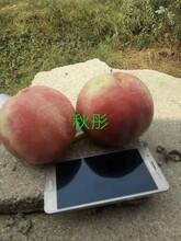 仲秋黃金脆桃樹苗果樹苗優質供應商的選購技巧遼寧圖片