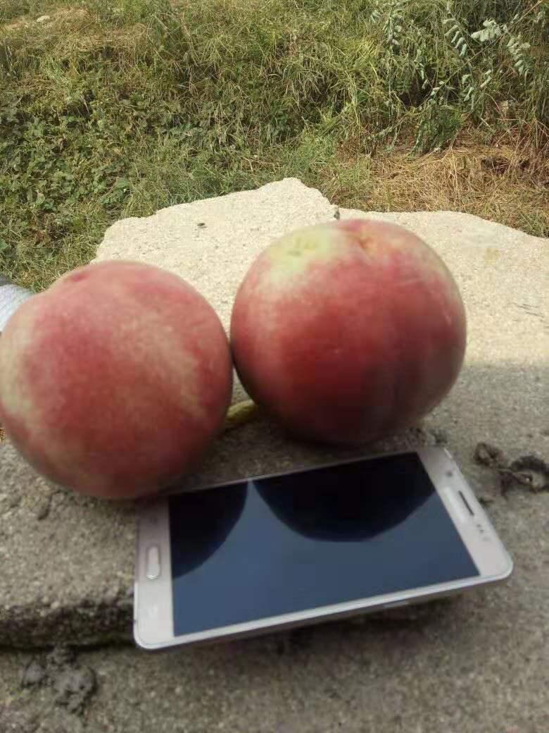 永蓮蜜桃4號桃樹苗果樹苗優質供應商品質好的怎么選擇遼寧