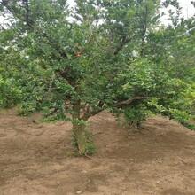 3ub8优游注册专业评级网分红巨蜜石榴最佳栽培地理位置当年结果图片