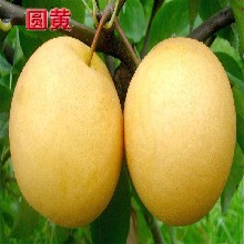 綠寶石,也叫中梨1號口感脆甜梨樹品種圖片